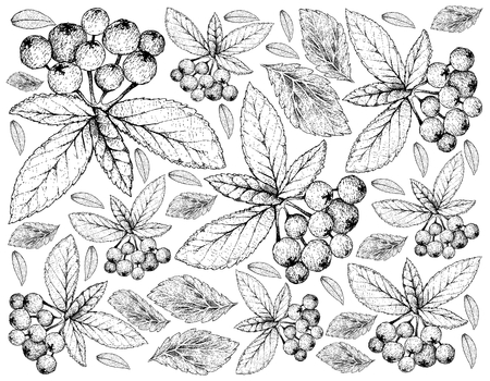 Tropical Fruits, Illustration Wallpaper of Hand Drawn Sketch Bunch of Fresh Aronia or Chokecherries Hanging on Tree Branch Isolated on White Background. High in Vitamin A and C with Essential Nutrient for Life. 免版税图像