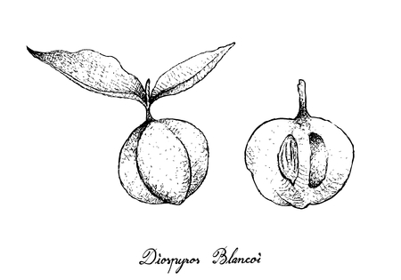 Tropical Fruit, Illustration of Hand Drawn Sketch Ripe and Sweet Diospyros Blancoi or Velvet Apple Fruits Isolated on White Background. Illustration