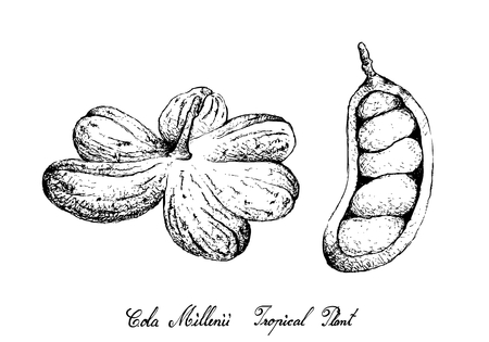 Tropical Fruit, Illustration of Hand Drawn Sketch Cola Millenii Fruits Hanging on Tree Bunch Isolated on White Background.