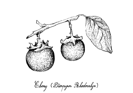 Tropical Fruit, Illustration of Hand Drawn Sketch Ripe and Sweet Ebony or Diospyros Rhodocalyx Fruits Isolated on White Background.