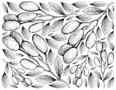 Frutas tropicales, papel tapiz de ilustración de bocetos dibujados a mano de frutas frescas Elaeocarpus Hygrophilus aislado sobre fondo blanco. Ilustración de vector
