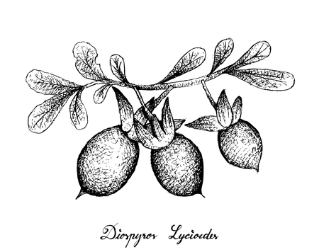 Exotic Fruit, Illustration of Hand Drawn Sketch Diospyros Lycioides Fruit with Green Leaves on Tree Branch Isolated on White Background. Stock Illustratie