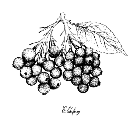 Berry Fruit, Illustration Hand Drawn Sketch of Elderberry or Sambucus Nigra Fruits Isolated on White Background. High in Vitamin C with Essential Nutrient for Life. Illustration