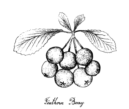 Berry Fruit, Illustration Hand Drawn Sketch of Firethorn Berries or Pyracantha Fruits Isolated on White Background.