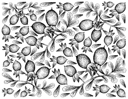 Exotic Fruit, Illustration Wallpaper of Hand Drawn Sketch Diospyros Lycioides Fruit with Green Leaves on Tree Branch Isolated on White Background.