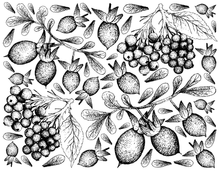 Berry Fruit, Illustration Hand Drawn Sketch of Elderberry or Sambucus Nigra and Elderberry or Sambucus Nigra Fruits Isolated on White Background. Illustration
