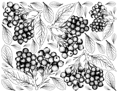 Berry Fruit, Illustration Wallpaper of Hand Drawn Sketch of Elderberry or Sambucus Nigra Fruits Isolated on White Background. High in Vitamin C with Essential Nutrient for Life.