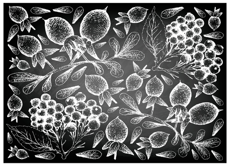 Berry Fruit, Illustration Wallpaper Background of Hand Drawn Sketch of Elderberry or Sambucus Nigra and Elderberry or Sambucus Nigra Fruits on Black Chalkboard.