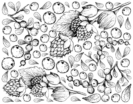 Berry Fruits, Illustration Wallpaper of Hand Drawn Sketch Delicious Fresh Golden Himalayan Raspberries or Rubus Ellipticus and Flueggea Virosa Fruits Isolated on White Background.