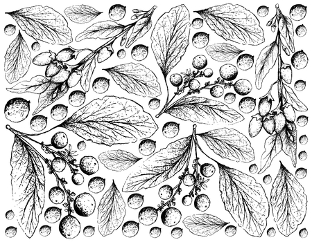 Berry Fruit, Illustration Wallpaper Background of Hand Drawn Sketch of Goji Berry or Lycium Barbarum and Orangeberry, Gin Berry or Glycosmis Pentaphylla Fruits.