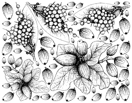 Berry Fruit, Illustration Wallpaper Background of Hand Drawn Sketch of False Black Pepper or Embelia Ribes and Peumo, Chilean Acorn or Cryptocarya Alba Fruits.