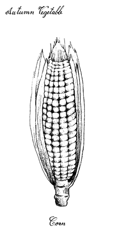 Autumn Vegetable, Illustration Hand Drawn of Sweet Corn or Maize with Husk and Silk. Symbolic Plant to Show The Signs of Autumn Season.
