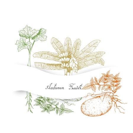 Herbstgemüse und Kräuter, Illustration Hand gezeichnete Skizze von Ensete Banana, Pastinaken und Kartoffeln.