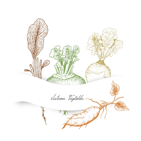 Autumn Vegetables, Illustration Hand Drawn Sketch of Radish, Rutabaga or Brassica Napus, Sweet Potato or Kumara and Turnip or Brassica Rapa.