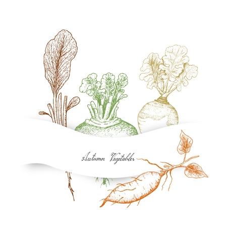 Autumn Vegetables, Illustration Hand Drawn Sketch of Radish, Rutabaga or Brassica Napus, Sweet Potato or Kumara and Turnip or Brassica Rapa.