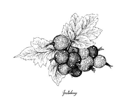 Beerenfrucht, Illustration Hand gezeichnete Skizze von Jostaberen, Isolated on White Background. Reich an Vitamin C und Mineralien mit essentiellen Nährstoffen für das Leben. Vektorgrafik
