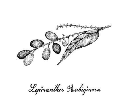 Berry Fruits, Illustration of Hand Drawn Sketch Lepisanthes Rubiginosa Fruits Isolated on White Background.