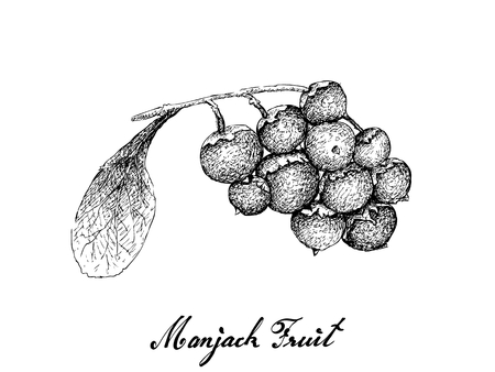 Berry Fruit, Illustration Hand Drawn Sketch of Jostaberries Isolated on White Background.