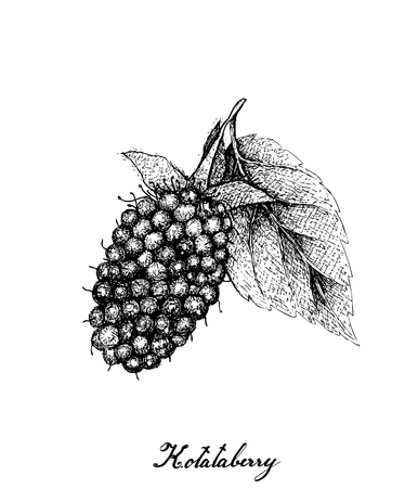 Berry Fruits, Illustration of Hand Drawn Sketch Delicious Fresh Kotataberry With Green Leaves Isolated on White Background. High in vitamin C and B.