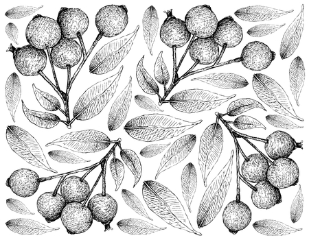 Berry Fruit, Illustration Wallpaper of Hand Drawn Sketch of Magenta Lilly Pilly,  Magenta Cherry or Syzygium Paniculatum Fruits Isolated on White Background. Illustration