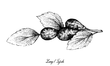 Tropical Fruit, Illustration of Hand Drawn Sketch Jujube, Lang, Chinese Date or Ziziphus Jujuba Fruits Isolated on White Background.