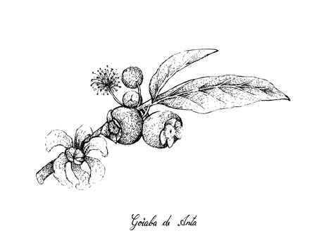 Tropical Fruits, Illustration of Hand Drawn Sketch Goiaba de Anta, Mess Apple or Bellucia Grossularioides Fruits Isolated on White Background. Illustration