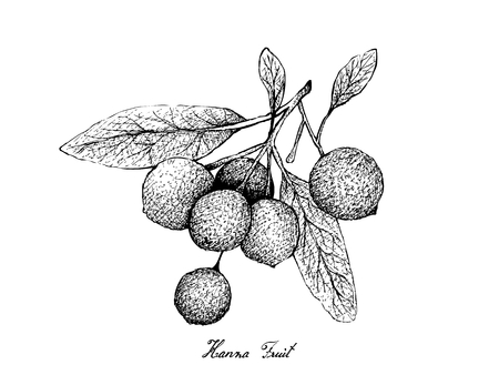 Tropical Fruit, Illustration of Hand Drawn Sketch Ripe and Sweet Hanza or Boscia Senegalensis Fruits Isolated on White Background.