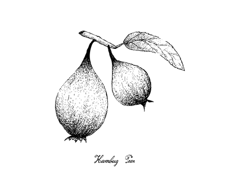 Exotic Fruits, Illustration Hand Drawn Sketch of Humbug Fruits or Easter Pears Isolated on White Background.