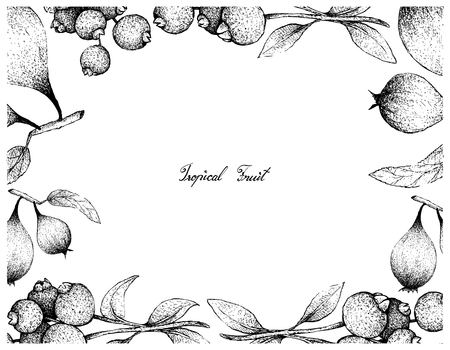 Tropical Fruit, Illustration Frame of Hand Drawn Sketch of Fresh Guabiju or Myrcianthes Pungens and Humbug Fruits or Easter Pears Isolated on White Background. Illustration