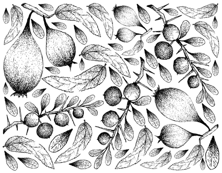 Exotic Fruits, Illustration Wallpaper of Hand Drawn Sketch of Humbug or Easter Pears and Kei Apple or Dovyalis Caffra Fruits Isolated on White Background.