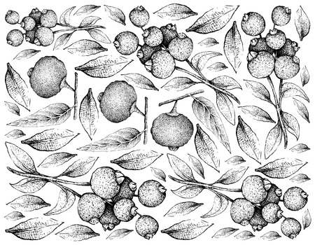 Tropical Fruit, Illustration Wallpaper of Hand Drawn Sketch of Fresh Guabiju or Myrcianthes Pungens and Guabiraba or Campomanesia Lineatifolia Fruits Isolated on White Background.
