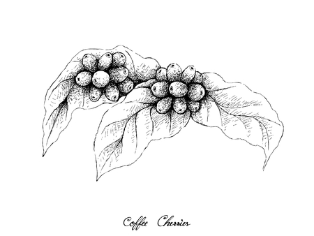 Illustration Hand Drawn Sketch of Ripe Coffee Beans on Leaves and The Branch Isolated on A White Background.