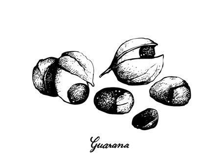 Vegetable, Illustration of Red Guarana or Paullinia Cupana Fruits Isolated on White Background.