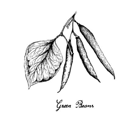 Vegetable, Illustration of Fresh Green Beans or Phaseolus Vulgaris Isolated on White Background.