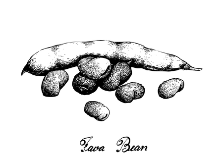 Vegetable, Illustration of Hand Drawn Sketch Fresh Fava Bean or Broad Beans on Tree Isolated on White Background, Used in Both Sweet and Savory Recipes. Çizim