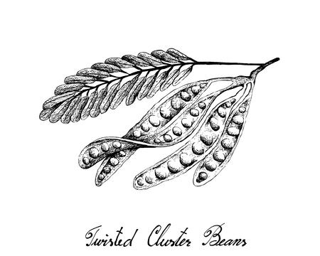 Illustration Croquis dessiné à la main de Sato, Parkia Speciosa, Haricots amers ou Haricots à grappes torsadées avec des glucides, des protéines, du folate B9, de la pyridoxine B6 et de l'acide pantothénique B5.