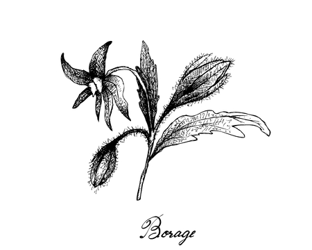 Illustration of Borage Seeds and Blossoms on A Branch. The Highest Amounts of Y-Linolenic Acid or GLA of Seed Oils. Ilustrace