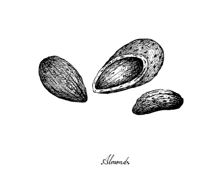 Illustration of Almonds Isolated on White Background, Good Source of Dietary Fiber, Vitamins and Minerals.