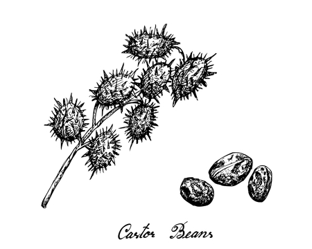 Illustration  of Castor Beans or Ricinus Communis. The Highest Amounts of Triglycerides and Ricinolein of Seed Oils.