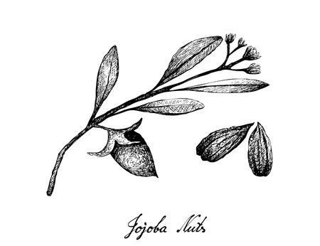 Illustration of Hand Drawn Sketch Simmondsia Chinensis or Jojoba Nuts and Seed, Used to Treat Acne, Psoriasis, Sunburn and Chapped Skin.
