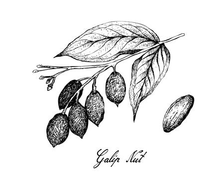 Illustration von Canarium Indicum, Galip-Nüssen oder pazifischen Mandeln auf einem Baum, gute Quelle für Ballaststoffe, Vitamine und Mineralien. Vektorgrafik