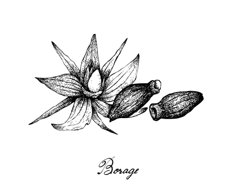 Illustration Hand Drawn Sketch of Borage Seeds and Flowers. The Highest Amounts of Y-Linolenic Acid or GLA of Seed Oils.