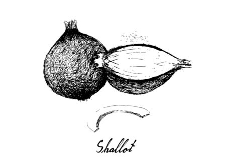 Herbal Plants, Illustration Hand Drawn Sketch of Fresh Shallots, Spanish Onions, or Red Onions Used for Seasoning in Cooking.