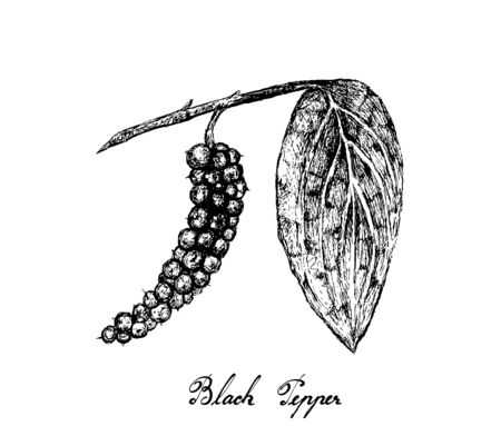 Herbal Plants, Illustration of Hand Drawn Sketch Black Pepper or Peppercorn, Used for Seasoning in Cooking.