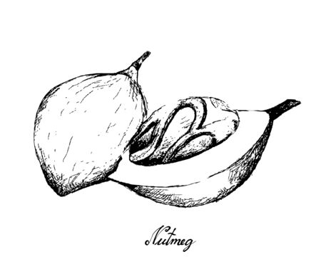 Herbal Plants, Hand Drawn Illustration of Fresh Nutmeg or Myristica Fragrans Fruits Used for Seasoning in Cooking.