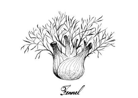 Herbal Plants, Illustration of Hand Drawn Sketch Fresh Fennel or Foeniculum Vulgare Bulb with Stem and Leaves Used for Seasoning in Cooking.