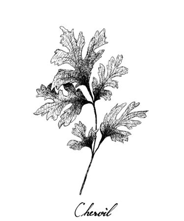 Herbal Plants, Hand Drawn Illustration of Chervil or French Parsley Isolated on A White Background Used for Seasoning in Cooking. Illustration