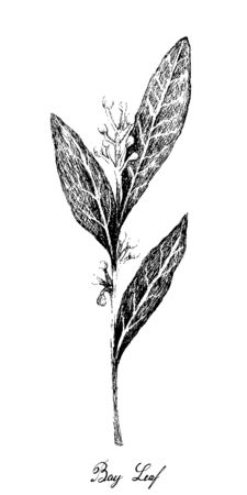 Herbal Plants, Hand Drawn Illustration of Fresh Bay Laurel Plant Used for Seasoning in Cooking.