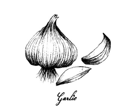 Herbal Plants, Illustration of Hand Drawn Sketch of Dried Garlic Bulb Used for Seasoning in Cooking. Isolated on White Background. 向量圖像