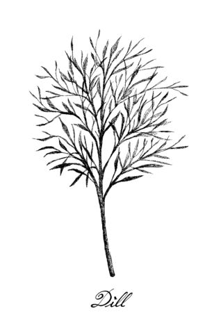 Herbal Plants, Hand Drawn Illustration of Fresh Dill or Anethum Graveolens Plant Used for Seasoning in Cooking.